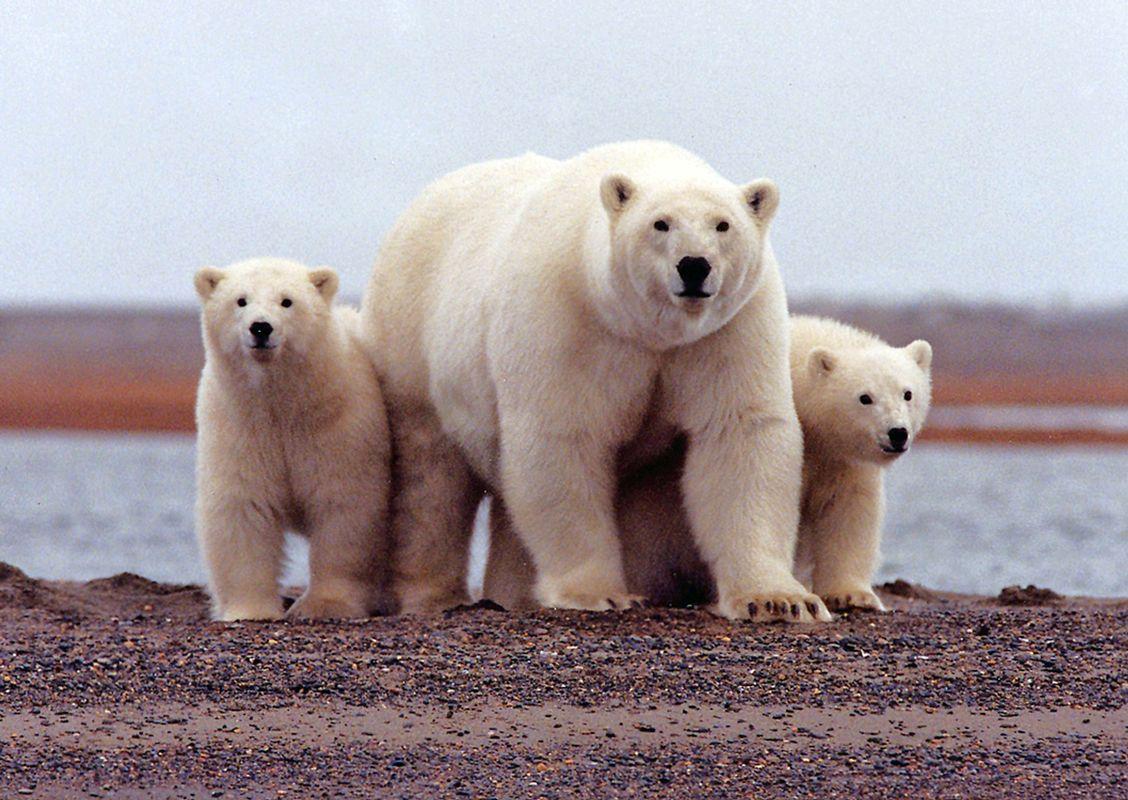Severni medved; vir: EPA
